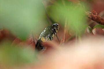Le serpent à sonnettes joue à cache-cache sur Jan-Freerk Kloen
