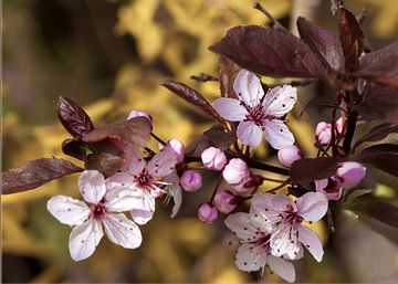 Bloesem van roodbladige Prunus