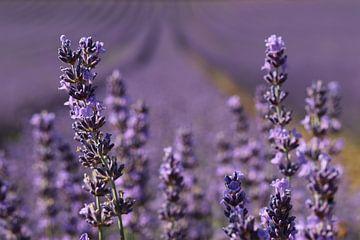 Lavendel van Jacqueline Holman
