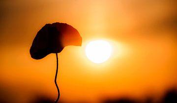 Klaproos met zonnewarmte von Sense Photography