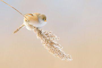 Baardmees ( Panurus biarmicus ), vrouwtje, aan een hangende rieten rand, grappige foto, wild, Europa van wunderbare Erde
