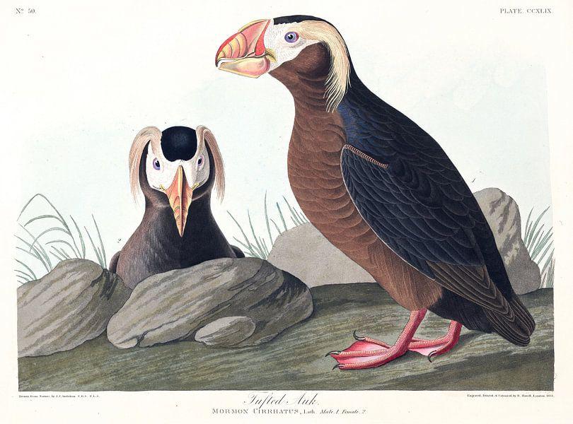 Kuifpapegaaiduiker van Birds of America