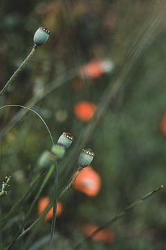 Mohnblumen von Monique de Koning