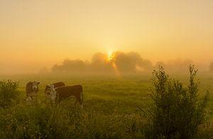 Koeien in mistige polder van