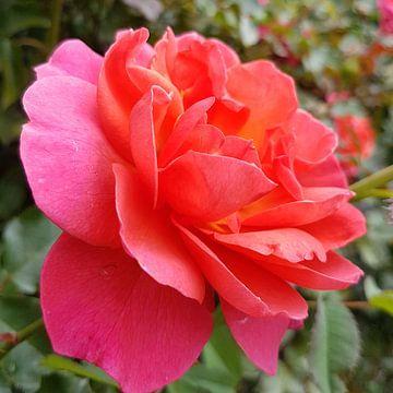 De roos van Brigitte Hofman-Balfoort