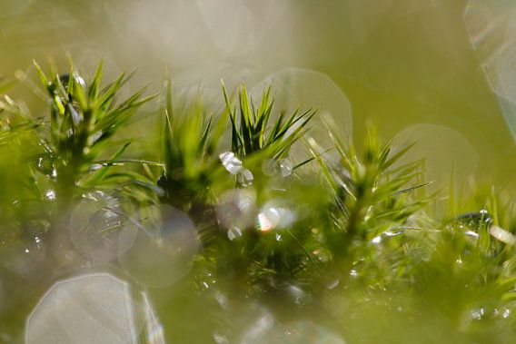 Mos met waterdruppels in tegenlicht