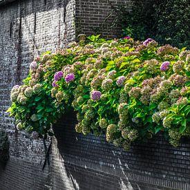 mooie gekleurde hortensia op een oude zwarte muur van Patrick Verhoef