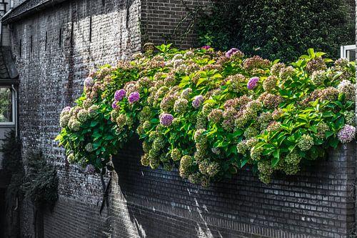 mooie gekleurde hortensia op een oude zwarte muur van