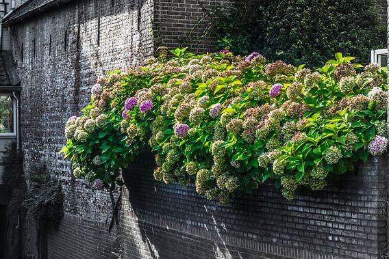 mooie gekleurde hortensia op een oude zwarte muur