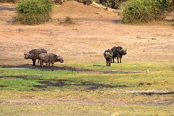 Der Büffel von Merijn Loch