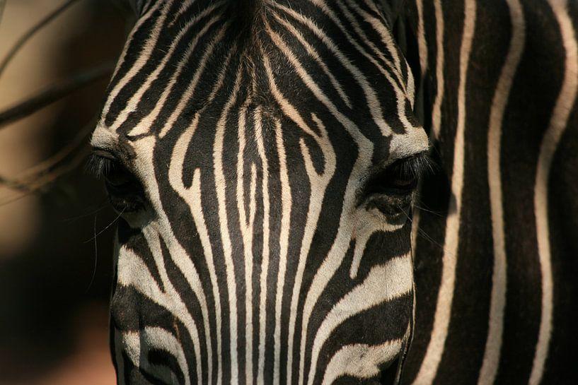 Zebra van Paul Optenkamp