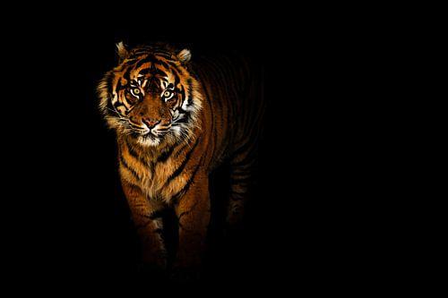 Tiger in der nacht