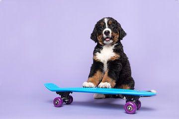 Berner sennen pup op een skateboard van Elles Rijsdijk