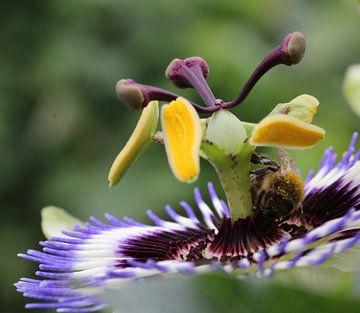 Hummel auf Passionsfruchtblume von Floor Wessels