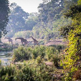 Girafes sur Anton Van Beek