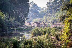 Giraffe van Anton Van Beek