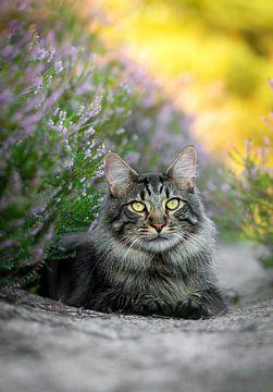 Maine Coon kat liggend in de heide van T. Brandorff