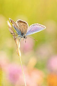 Heideblau am frühen Morgen von Roosmarijn Bruijns