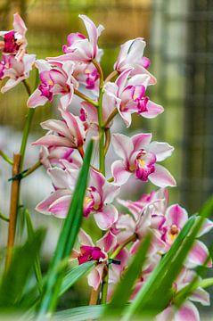 orchidee 12 von John van Weenen
