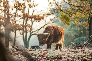 Schotse Hooglander in het bos