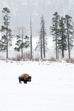 Amerikanischer Bison ( Bison bison ) im Winter, Lamar Valley, Yellowstone NP, Wyoming, USA. von wunderbare Erde
