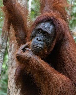 Orang-Utan im Dschungel von Borneo von Geert Keularts
