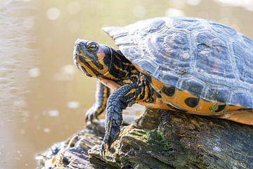 Schildkröte von Lindy Hageman