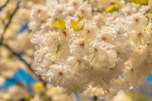 Bloeiende bloesem op een lentedag