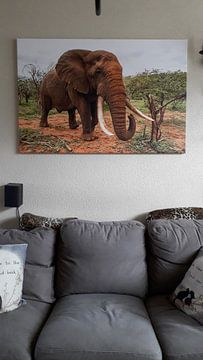 Kundenfoto: Elefant (Loxodonta africana) in bedrohlicher Lage, Zimanga Game Reserve, Kwa Zulu Natal, Südafrika von Nature in Stock