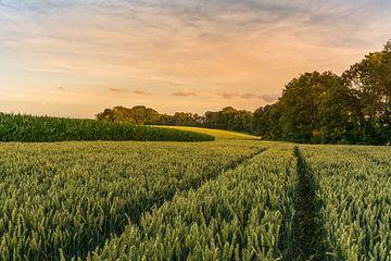 Zonsondergang in een graanveld van John van de Gazelle