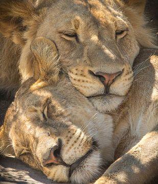 slapende leeuwen