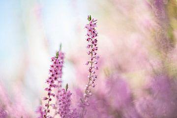 Heidekraut (Calluna vulgaris) - 4 von Danny Budts
