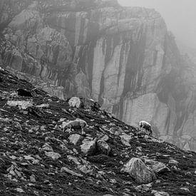 moutons paissant dans les montagnes, Autriche sur Olha Rohulya