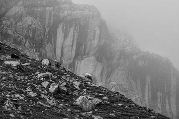 hoch in den Bergen weidende Schafe, Österreich von Olha Rohulya