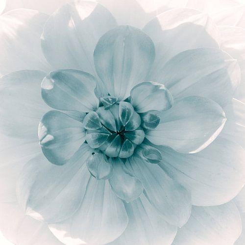 Bloemenhart van de dahlia, monochroom
