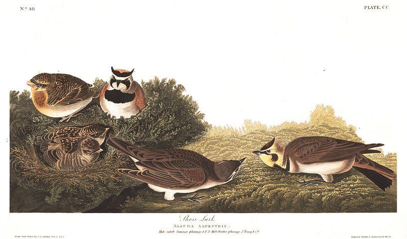 Strandleeuwerik van Birds of America