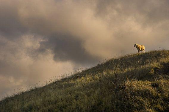 Schaap op een heuvel