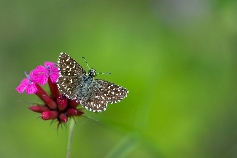 Aardbeivlinder op anjer van Fokko Erhart