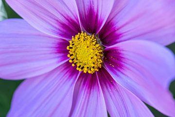 Violett blühende Blume von Eline Huizenga