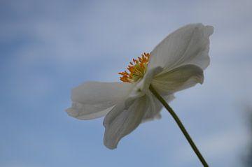 witte anemoon tegen blauwe lucht van Clementine aan de Stegge