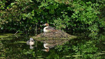 Fuut op nest van Carla van Zomeren
