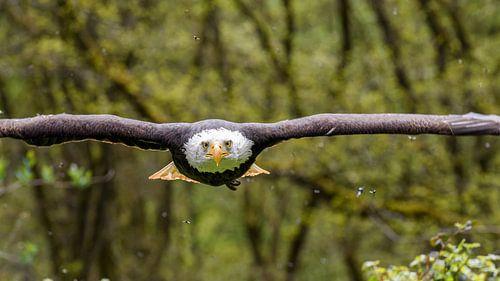 Bald Eagle van Jan Hoekstra