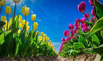 Gele en roze tulpen in een bollenveld van Rietje Bulthuis