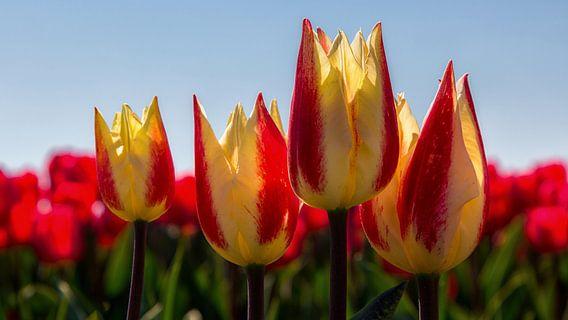 Tulpen van Bram van Broekhoven