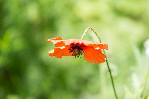 She definitely seduced me... (bloem, klaproos, rood, liefde)  van Tonny Visser-Vink