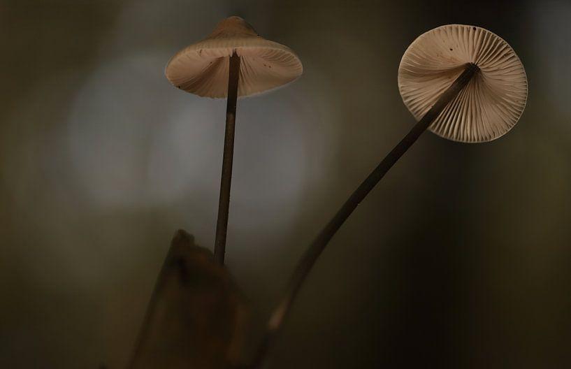 Mycena paddenstoel van Erik Veltink