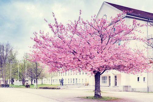 Kirschblüte in  Chemnitz van