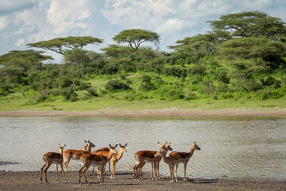 Een groep impala's staat aan de over van een meer