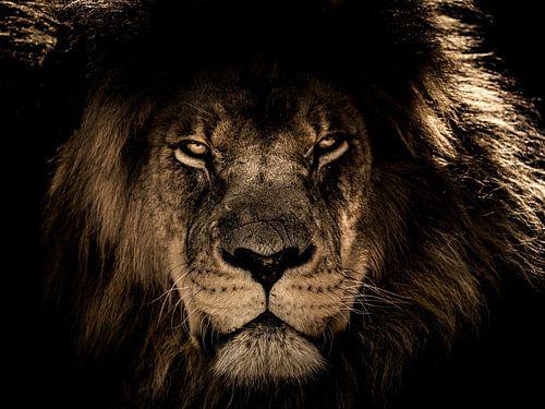 Dunkler Löwenkopf Nahaufnahme, während er Sie direkt anschaut