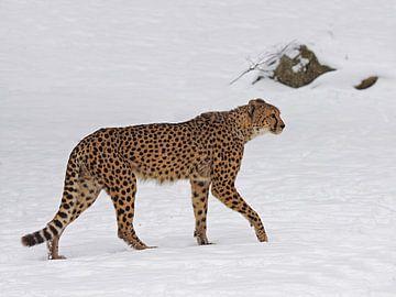 Jachtluipaard in de sneeuw van
